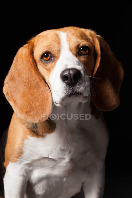 Portrait of amazing beagle dog looking in camera on black background. — Stock Photo