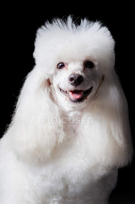 Portrait of amazing white poodle dog looking in camera on black background. — Stock Photo