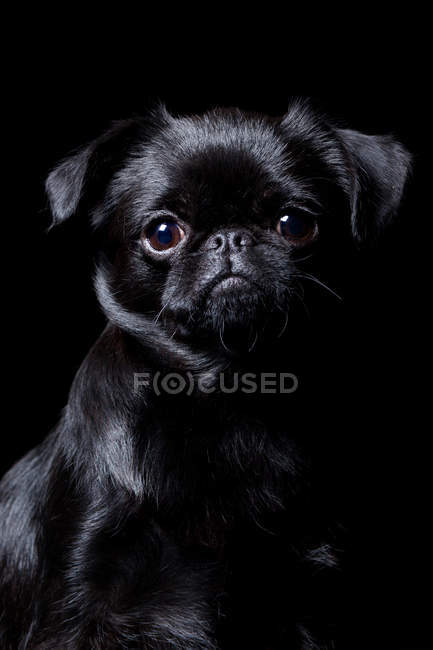 Portrait of amazing black pug dog looking in camera on black background. — Stock Photo