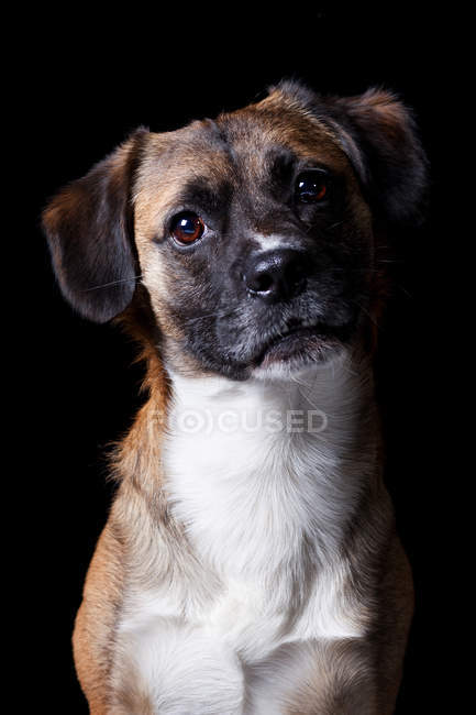 Portrait of amazing crossbreed dog looking in camera on black background. — Stock Photo