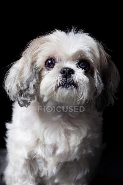 Retrato de incrível Havanese bichon cão olhando na câmera no fundo preto . — Fotografia de Stock