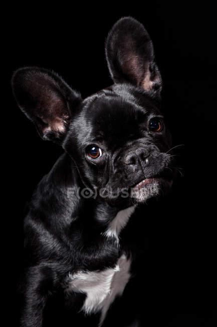 Retrato do cão preto surpreendente do buldogue francês que olha na câmera no fundo preto. — Fotografia de Stock