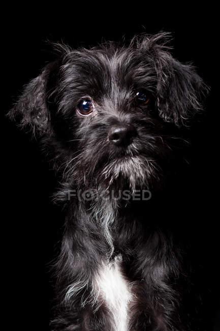 Retrato de incrível mestiço cão olhando na câmera no fundo preto . — Fotografia de Stock