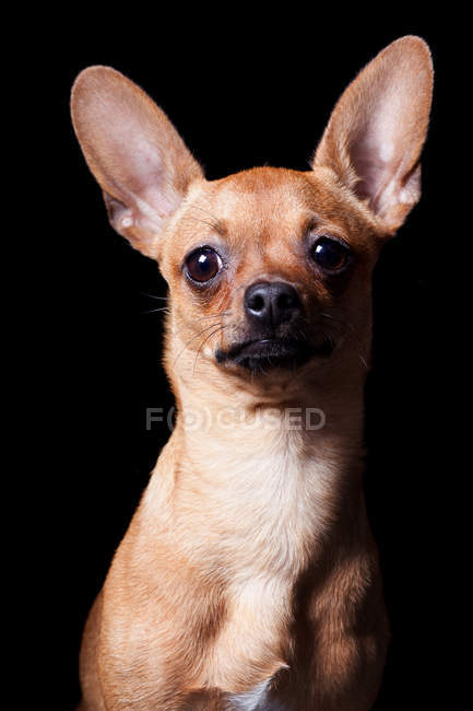 Portrait of amazing Chihuahua dog looking in camera on black background. — Stock Photo