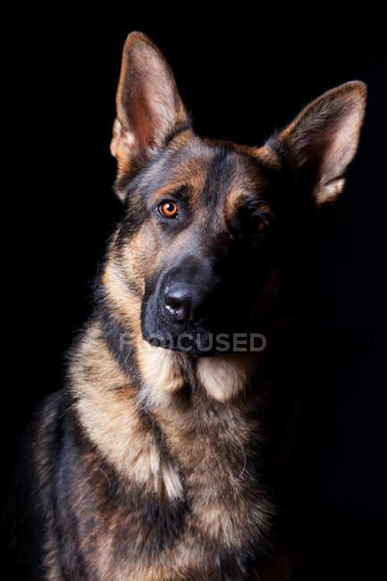 Retrato de perro pastor alemán increíble mirando en cámara sobre fondo negro . - foto de stock