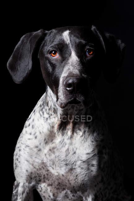 Retrato del increíble perro puntero de pelo corto alemán mirando en la cámara sobre fondo negro . - foto de stock