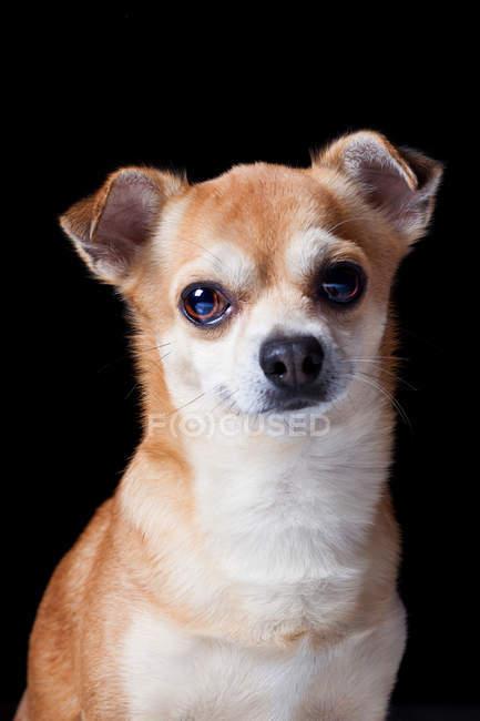 Retrato de perro cruzado increíble mirando en cámara sobre fondo negro . - foto de stock