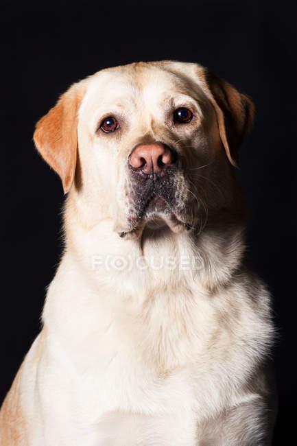 Retrato do cão surpreendente do Retriever de Labrador que olha na câmera no fundo preto. — Fotografia de Stock