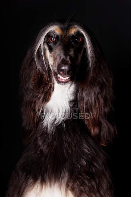 Портрет дивовижної афганської гончак собака дивиться в камеру на чорному фоні. — стокове фото
