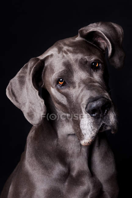 Portrait of amazing Great Dane dog looking in camera on black background. — Stock Photo
