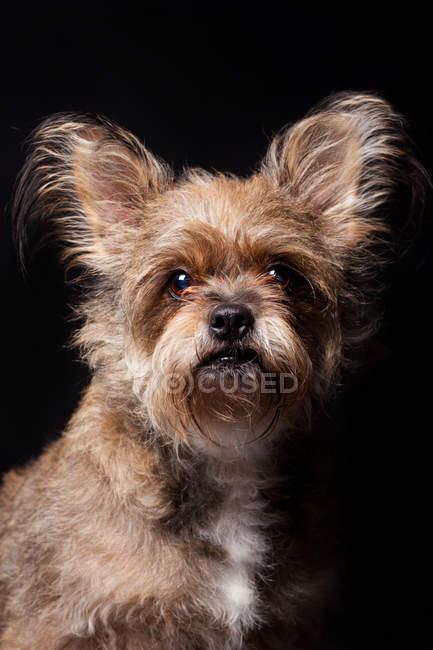 Retrato do cão surpreendente do terrier de Yorkshire que olha na câmera no fundo preto. — Fotografia de Stock