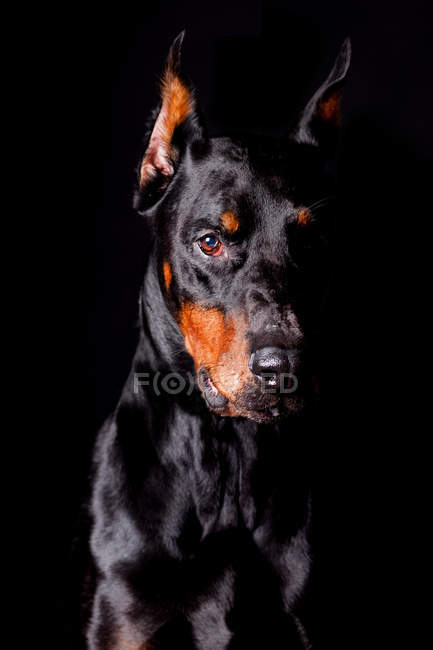 Portrait of amazing Doberman dog looking in camera on black background. — Stock Photo