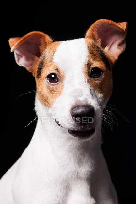 Retrato do cão surpreendente do terrier de Jack Russell que olha na câmera no fundo preto. — Fotografia de Stock