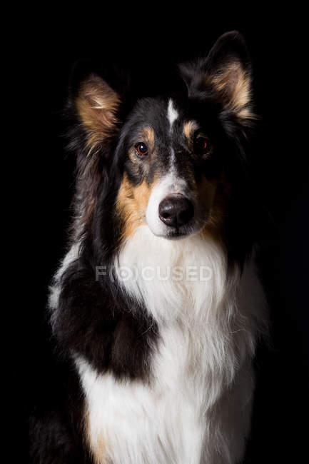 Портрет удивительной собаки Колли, смотрящей в камеру на черном фоне . — стоковое фото