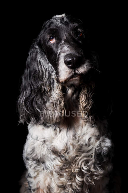 Portrait of amazing English Cocker Spaniel dog looking in camera on black background. — Stock Photo