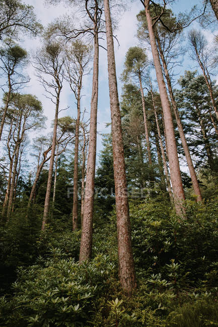 From below trunks of trees growing in woods of Pucks Glen on sunny day — Stock Photo