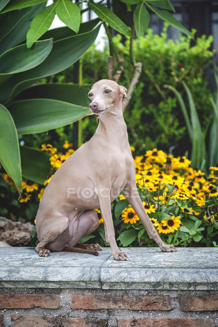 Calm dog sitting and gazing on stone parapet by flowerbed and green bushes — Stock Photo