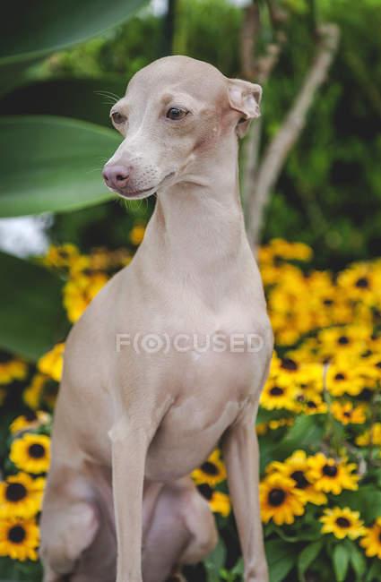 Cão calmo sentado e olhando em parapeito de pedra por arbustos floridos e verdes — Fotografia de Stock