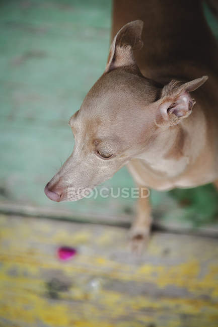 From above worried dog sitting and gazing on weathered wooden painted floor — Stock Photo
