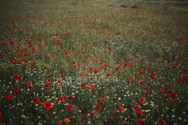 Wonderful green meadow with lonely cornflowers among plenty red poppies and white chamomiles on blurred background of green grass in summer — Stock Photo