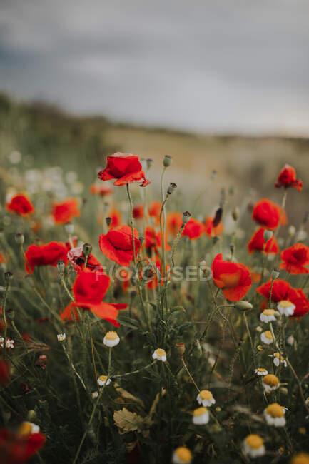 Maravilloso prado verde con acianos solitarios entre muchas amapolas rojas y manzanillas blancas sobre un fondo borroso de hierba verde en verano - foto de stock