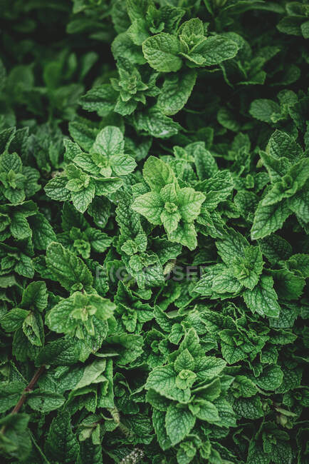 From above aromatic mint shrub with green leaves growing in garden in Marrakesh, Morocco — Stock Photo
