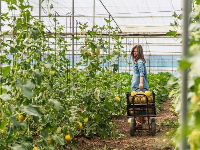 Farmer harvesting ripe melons in greenhouse — Stock Photo