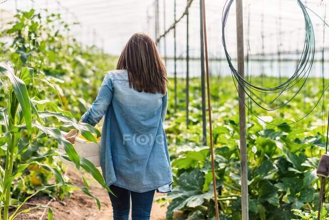 Agricultor que lleva cajón con cultivo en invernadero - foto de stock