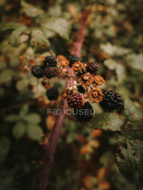 Wild fresh edible ripe and unripe blackberries with brown wilted flowers on shrub branch in autumn — Stock Photo