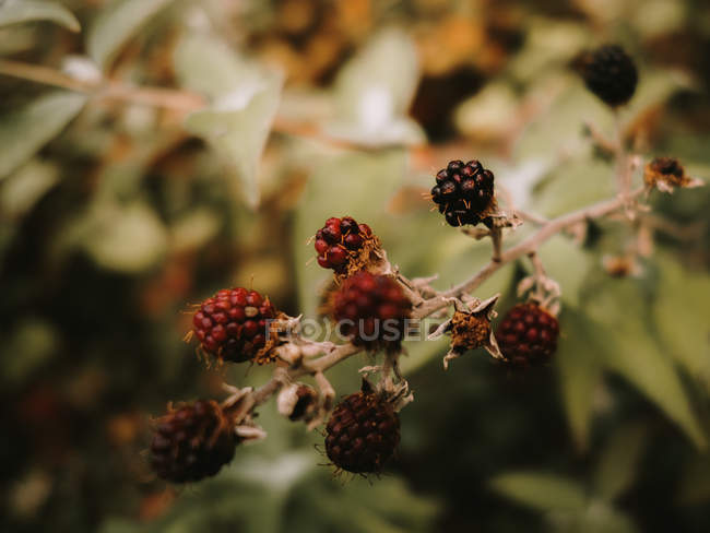 Wild fresh edible ripe and unripe blackberries with brown wilted flowers on shrub branch in autumn — Foto stock