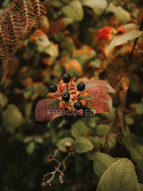 Deadly nightshade toxic black berries on red and orange flowers with five petals on blurred background of green leaves — Stock Photo