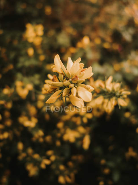 Beautiful fresh blooming medicinal melilotus flowers with yellow petals among green leaves in dense autumn forest - foto de stock