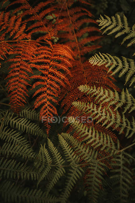 Wild fresh green and wilted orange huge leaves on stems of lush ferns in dense forest during autumn — Stock Photo