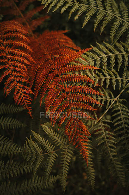 Wild fresh green and wilted orange huge leaves on stems of lush ferns in dense forest during autumn — Foto stock