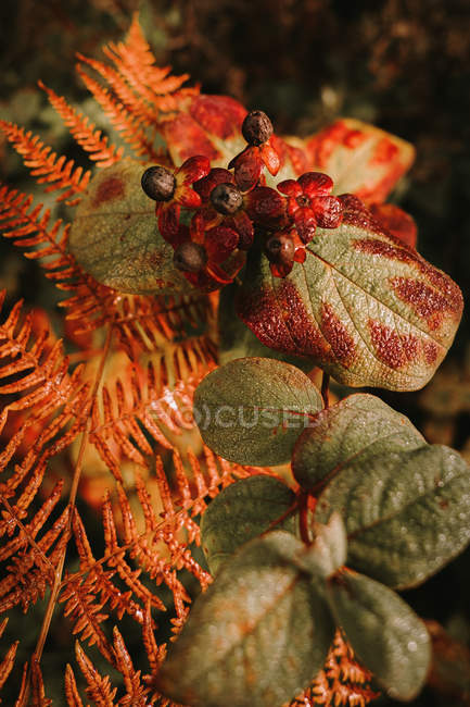 Deadly nightshade toxic black berries above orange fern leaf in autumn forest — Stock Photo