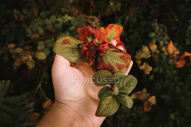 Female hand touching deadly nightshade toxic black berries in autumn forest — Stock Photo