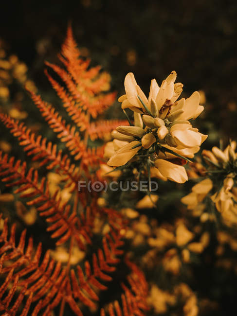 Beautiful fresh blooming medicinal melilotus flowers with yellow petals among green leaves autumn forest - foto de stock