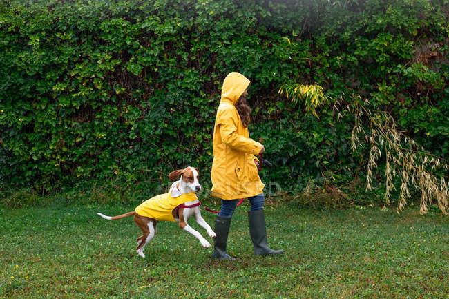 Бічний вид на активну жінку в жовтій куртці і гумові чоботи ходити з англійським псом на посуд вздовж паркану рослин під дощем — стокове фото