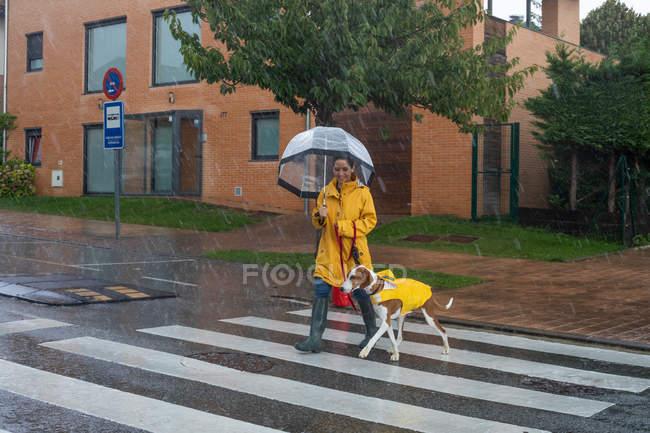 Mulher sorridente em casaco amarelo com guarda-chuva se movendo na estrada através de passarela segurando Inglês Pointer cão na trela vermelha — Fotografia de Stock