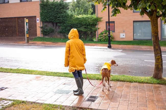 Vista posteriore della donna irriconoscibile in giacca gialla con cappuccio e stivali di gomma che cammina con il cane puntatore inglese in strada — Foto stock