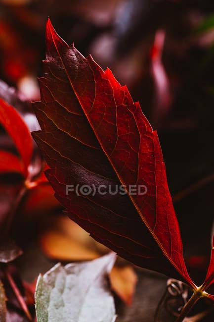 Закрытие осеннего ярко-красного оранжевого листа на контрасте солнечного света и тени в природе — стоковое фото
