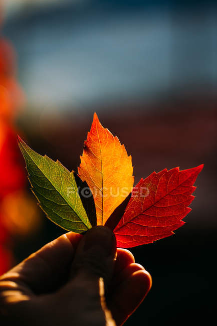 Person holding in hand vibrant yellow red autumn leaves in soft backlit — Stock Photo