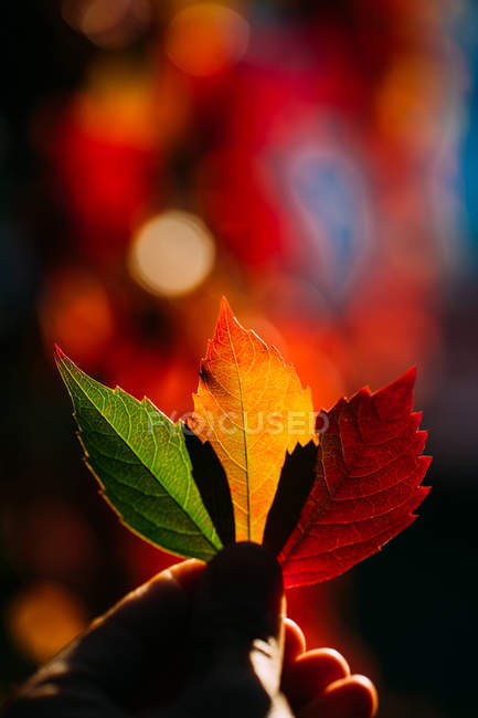 Person holding in hand vibrant yellow red autumn leaves in soft backlit — Foto stock