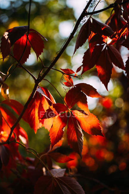 Autumnal branch with bright red orange leaves in contrast sunlight and shadow in nature — Stock Photo