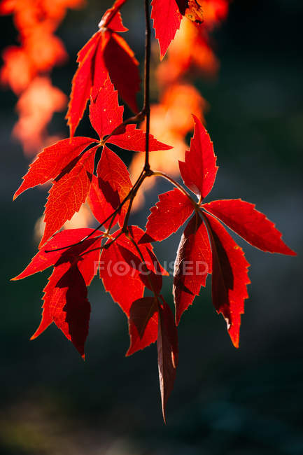 Autumnal branch with bright red orange leaves in contrast sunlight and shadow in nature - foto de stock