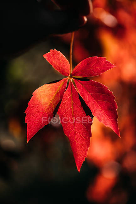 Close-up of autumnal bright red orange leaf in contrast sunlight and shadow in nature — Stock Photo