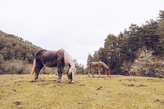 Chevaux sains broutant sur la pelouse par des arbres sempervirents dans la vallée idyllique — Photo de stock