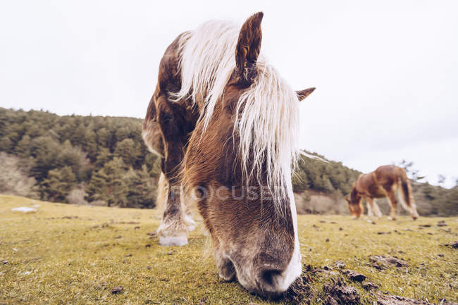 Close-up view of healthy horse grazing at lawn by evergreen trees at idyllic valley — Stock Photo