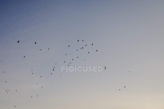 Чорний силует літаючих птахів зграя на тлі сірого і синього спокійного ясного неба під час гарної погоди влітку. — стокове фото