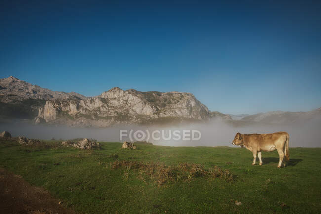 Bovini in prato verde durante la nebbia tempo soleggiato — Foto stock